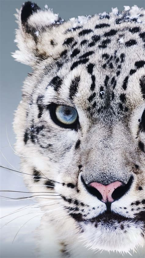 Snow Animal Wallpaper - wallpaper snow leopard china blue snow animals 8257