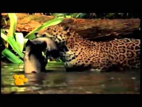 el jaguar  animal en peligro de extincion youtube