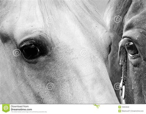 horse eyes stock photo image  black horse eyes