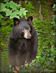 Bear Black Mountain North Carolina