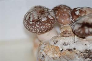 Cultiver Des Champignons De Paris Sans Kit : cultiver ses champignons la maison une d licieuse id e le blog ~ Melissatoandfro.com Idées de Décoration