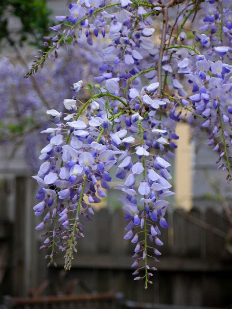 growing wisteria how to grow wisteria from seed pods