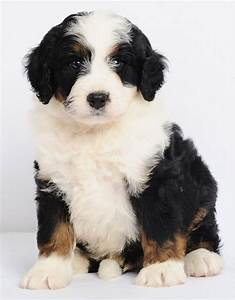 Bernedoodle, Bernese Mountain Dog and Poodle Mix