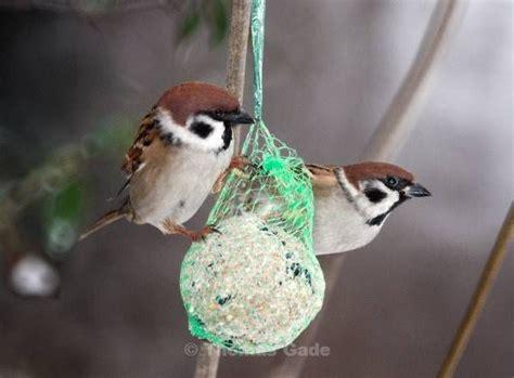 einheimische vögel bilder vogel v 195 182 gel feldsperling passer montanus familie sperlinge passeridae winter meisenkn 195