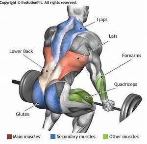LATS - BARBELL DEADLIFT   anatomy   Pinterest   Barbell ...