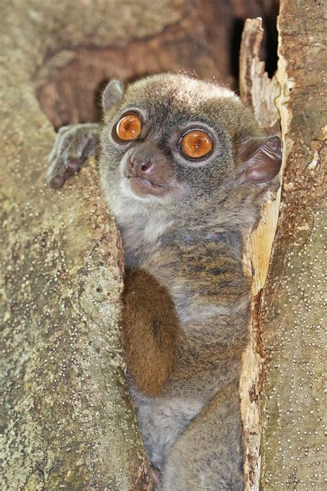 Sportive Lemur Wikipedia