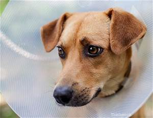 cone shame elizabethan collars and your pet