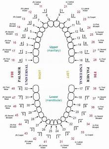 Updated Dental Tooth Numbering Chart With Multiple Systems