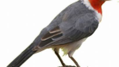 Burung Gambar Kartun Jalak Kicau Terbaru Cardinal