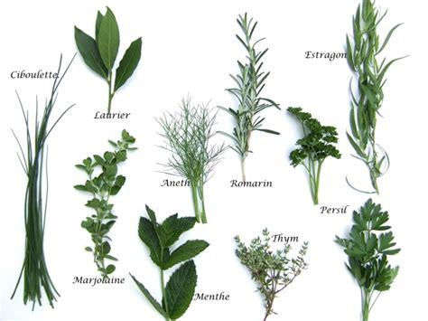 cuisine fenouil le guide des plantes aromatiques aneth angélique