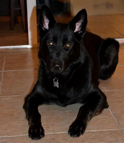 My All Black German Shepherd Puppy Sadie German Shepherd Dog Forums