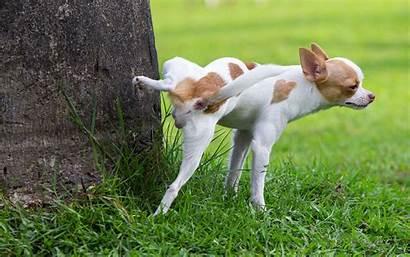 Pee Dog Chihuahua Lawn Fix Fitbark Pets