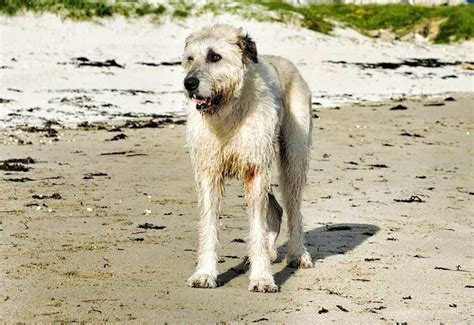wolfhound non shedding wolfhound tallest breed in the world k9