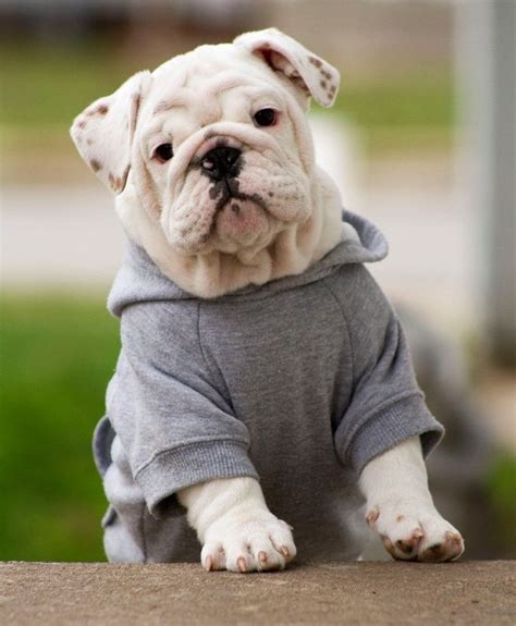dog clothes  english bulldogs dress  dog clothes