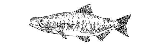 fish drawings   fish  wildlife service