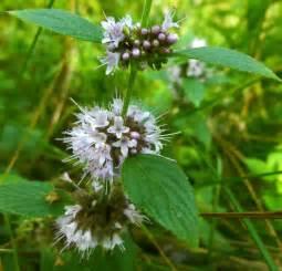 Wild Mint Plants with Purple Flowers