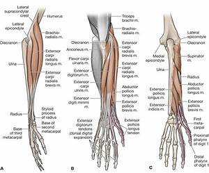 Anatomy Of Wrist Joint With Muscles The Forearm, Wrist ...