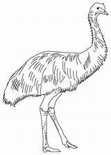 Emu Coloring Pages Australian Animals Template Birds Feathered Soft Outback Australia Printable Line Possum Sunday Mask Colouring Magic Templates Printables sketch template