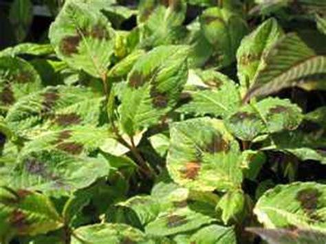 Knoeterich Sorten Pflege Pflanzen Der Bluehenden Staude by Stauden Kn 246 Terich Arten Polygonum Affine Persicaria