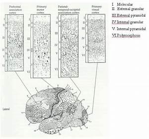 Neuroscience - L1 - L5 Layers Of The Brain
