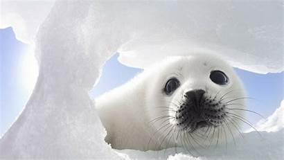 Seal Animal Desktop Wallpapers Backgrounds Adorable Seals