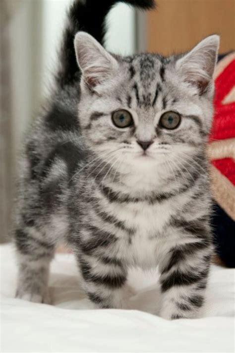 british shorthaired tabby kittens pinterest  mom mom  kittens
