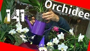 Orchideen Umtopfen Video : orchideen phalaenopsis umtopfen und pflegen youtube ~ Watch28wear.com Haus und Dekorationen
