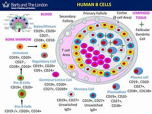 Multiple Sclerosis Research  Education  B Cells Are Not A
