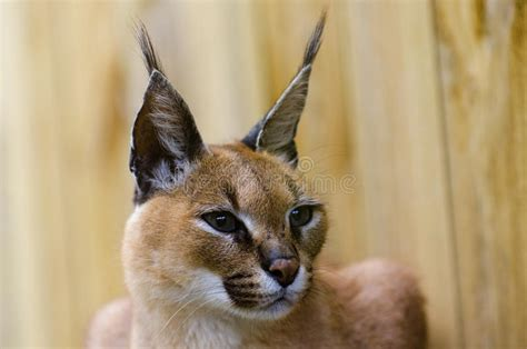 caracal african wild cat stock photo image  paws white