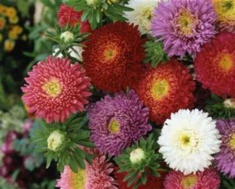 China Aster Powderpuff Mix Flower Seeds Free Shipping 50