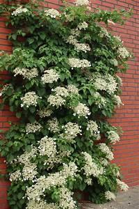 hydrangea anomala kletterhortensie schatten With garten planen mit kletterpflanze balkon schatten