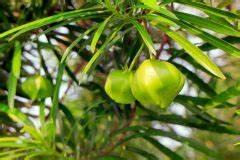 Oleander Draussen überwintern : oleander balgfr chte abschneiden oder nutzen ~ Eleganceandgraceweddings.com Haus und Dekorationen