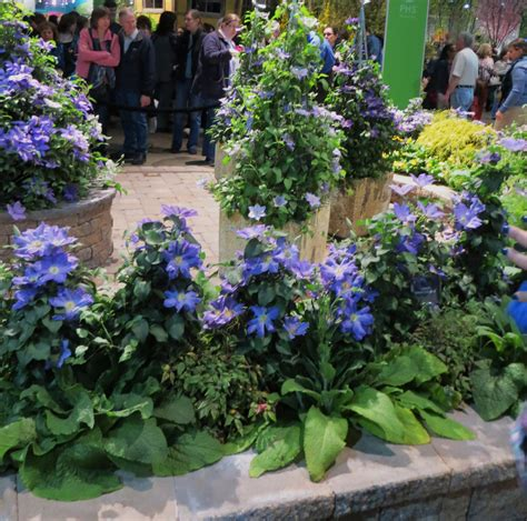 clematis for containers garden in the burrow