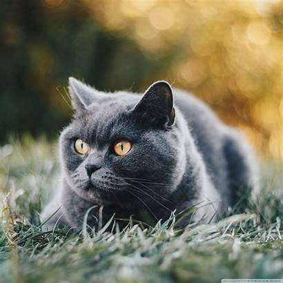 Shorthair British Cat Tablet