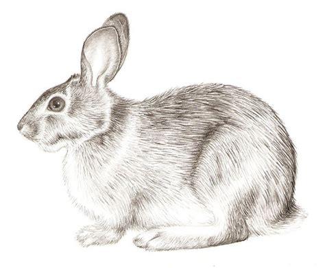 Rabbit Drawing Rabbit Realism By Grouchywolfpup On Deviantart