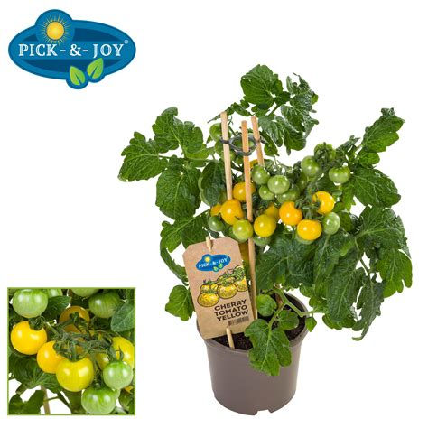 Yellowing of leaves on tomato plants can be caused by plenty of factors, most of them treatable. Cherry Tomato Yellow - Vreugdenhil Young Plants