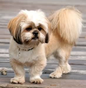 more about the shih tzu lhasa apso mix aka the shih apso