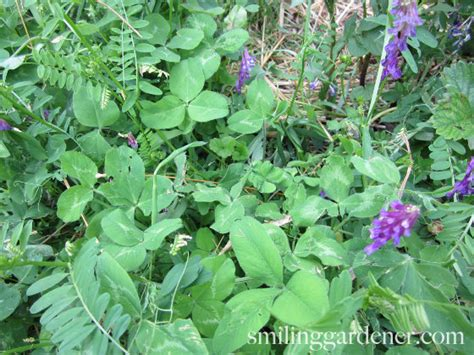 cover crops for gardens build soil and pests