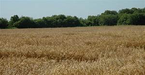 Wheat crop looks good — alas, prices don't – AgNewsFeed