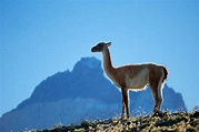 10 Things to Know About Guanacos