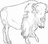 Buffalo African Coloring Pages Animal Animals Bison Drawings American Drawing Pencil Sheets sketch template