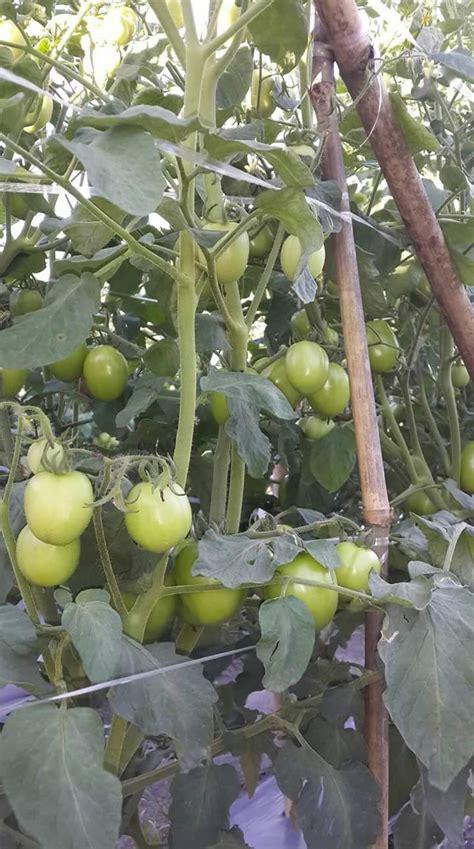 jarak tanam tomat rampai  tomat besar  baik
