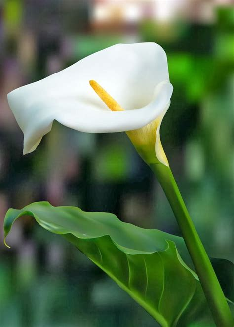what do calla lilies calla lily flower meaning