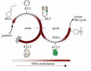 DNA methylation dynamics during the mammalian life cycle ...