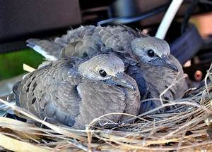 Young Mourning Dove Squab Photograph by Jay Milo