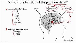 8 2 2 Pituitary Gland Structure And Function