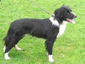 Border Collie Spaniel Mix | border collie springer spaniel ...