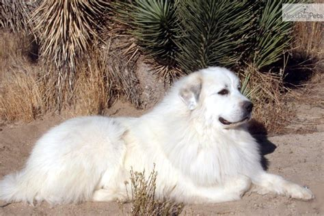 great pyrenees puppy for sale near los angeles california