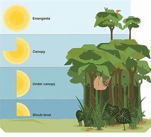 Image Result For Rainforest Layers Diagram