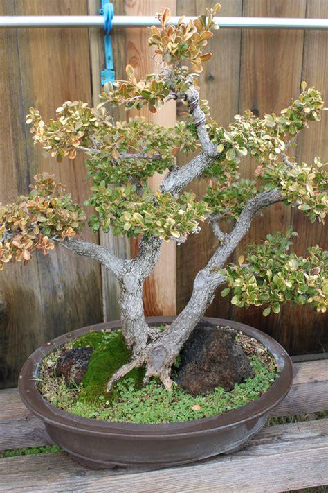 boxwood bonsai kuromatsubonsaicom